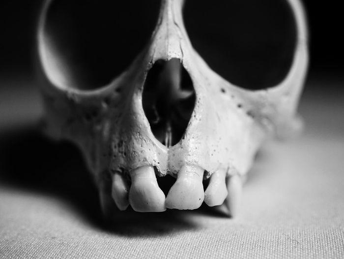 confrontation 01 Bone  Bokeh Macro Black And White Photography Black And White Teeth Simian Monkey EyeEm Selects Bone  Animal Body Part Close-up Animal Skull Body Part Animal Themes Animal Focus On Foreground Animal Bone Single Object Still Life