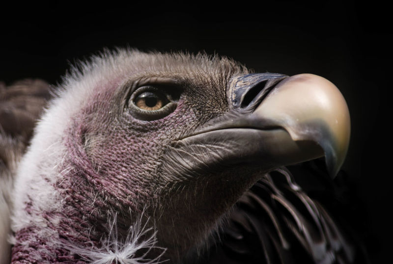 Smiling Vulture Animal Themes Beak Beak Bird Birdofprey Close-up Griffon Vulture One Animal Ruppell Smiling Vulture Wildlife