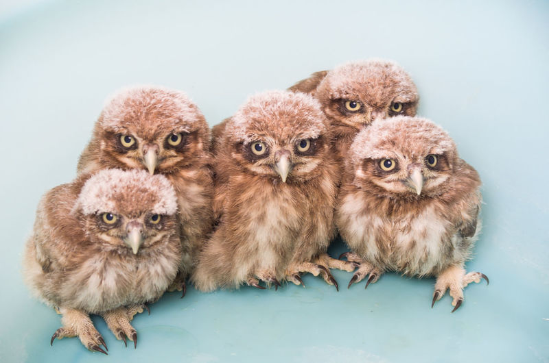Portrait of young owls against blue background