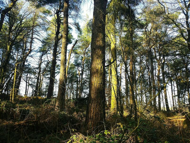 Tree Forest Tree Trunk Nature Growth Day Low Angle View No People Outdoors WoodLand Beauty In Nature Tranquility Sky Ogden Woods Woodland Walk Autumnal Rural Scene Trees Wintertime Winter Scenics Yorkshire Landscapes Calderdale BYOPaper! The Great Outdoors - 2017 EyeEm Awards