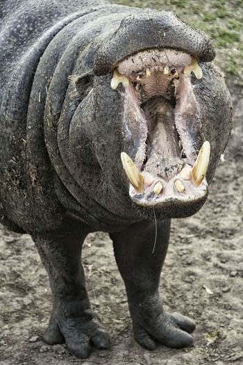 Animal Wildlife Mammal One Animal Animals In The Wild Animal Body Part No People Day Vertebrate Mouth Close-up Animal Teeth Nature Portrait Outdoors Front View Animal Mouth Aggression  Hippopotamus Mouth Open
