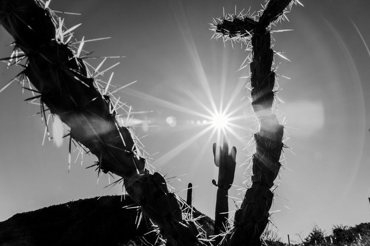Low angle view of silhouette cholla cactus plant against sky on sunny day