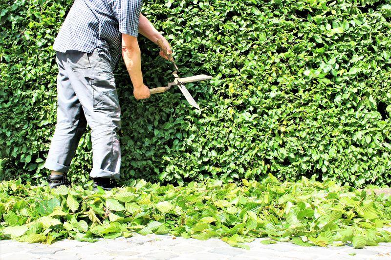 Low section of gardener trimming hedge in garden