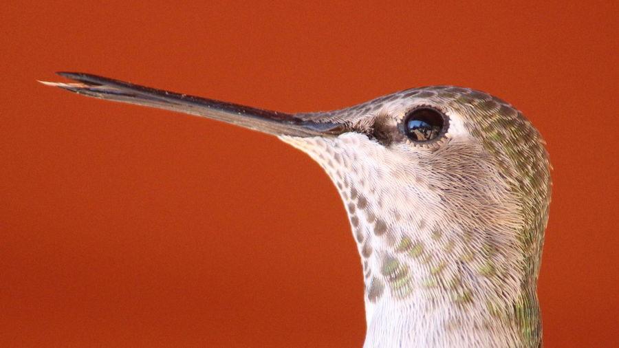 Close-Up Of Hummingbird Against Orange Background