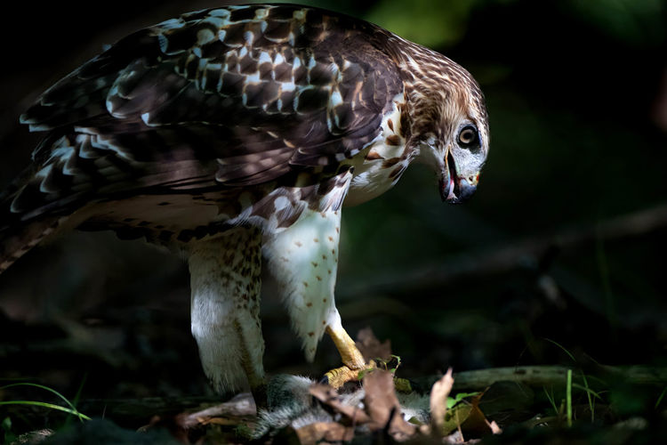 Close-up of hawk with prey