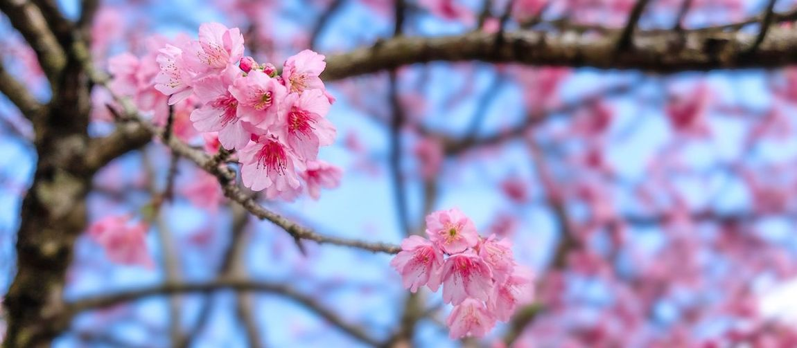 Blue Sakura Flowering Plant Plant Flower Fragility Tree Growth Beauty In Nature Branch Pink Color Focus On Foreground Close-up Nature Low Angle View Day