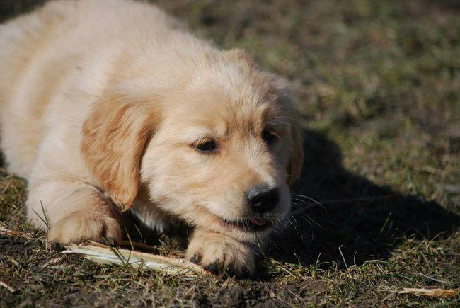 Doglover Dogoftheday DogLove Dog Lover My Dog I Love My Dog Hund Puppy Retriever Hunderunde Hundeleben Hunde Welpen Hundewelpe Hundewelpen Hundewelpenblick Goldenretriever Golden Retriever Golden Haustier Haustiere Unsere Haustiere My Dog <3 I Love My Dog❤