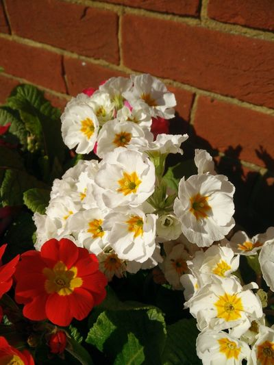 No Edit/no Filter White Primulas Flowers