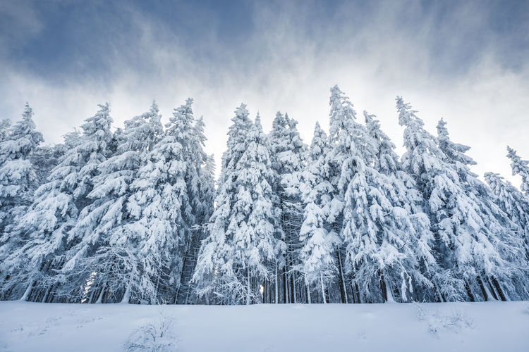 Snow covered fir trees against blue sky on cold winter morning in the black forest. Breisgau Freiburg Morning Nature Schwarzwald Snow ❄ Tree Winter Black Forest Cold Fir Germany Idyllic Outdoors Snow Snow Covered Snow Covered Trees Snowing Tourism