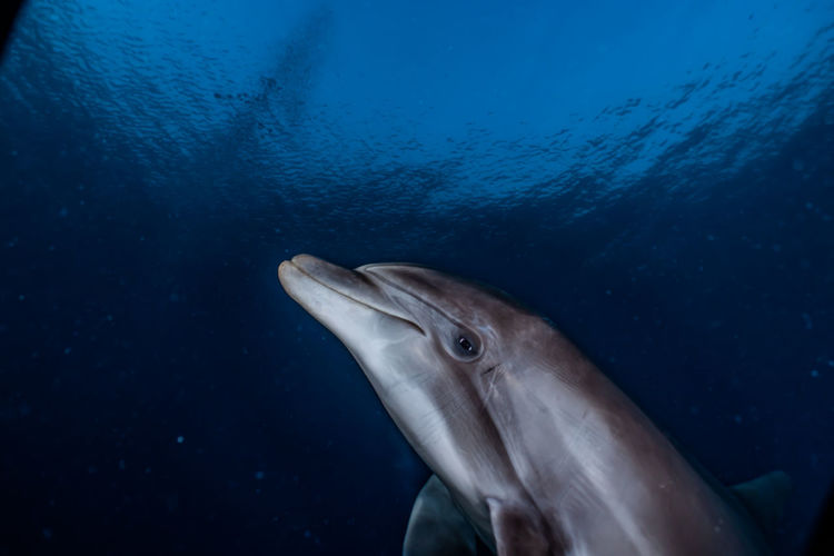 One Dolphin swimming in the Red Sea, Eilat Israel a.e Dolphins Red Sea Diving RedSea Sealife Animal Animal Head  Animal Themes Animal Wildlife Animals In The Wild Dolphin Fish Israel Marine Nature No People One Animal Red Sea Sea Sea Life Sea Life. Swimming UnderSea Underwater Vertebrate Water
