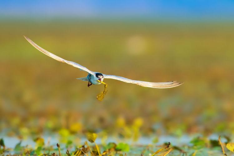 《匆忙的须浮鸥》摄于高邮湖
