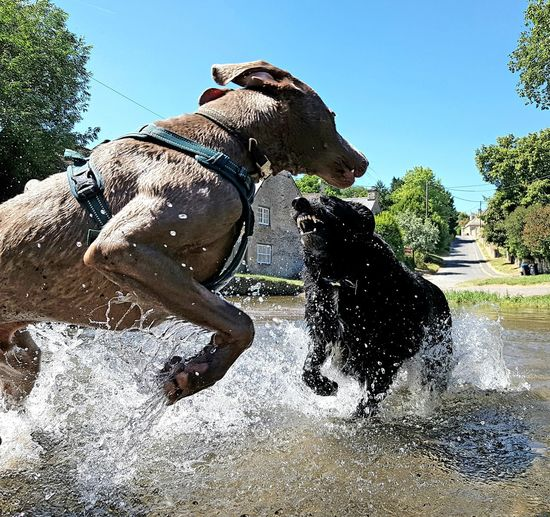 Dogs fighting in pond