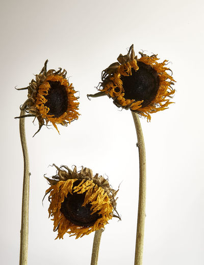 Sunflower Conceptual Contradiction Dead Dehydrated Depressed Dried Flowers Dry Feelings Flower Fragility Mental Health  Mood Nature Shrivelled Studio Shot White Background