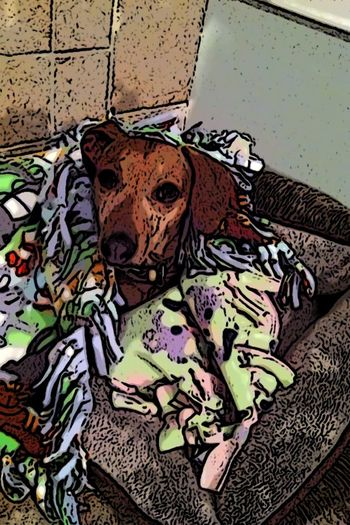 Close-up Creativity Daschund Dog Blanket Dog Wrapped In Blaket Fashion Home My Wiener Dog Blanket One Very Contented Dog Pattern Unfocused
