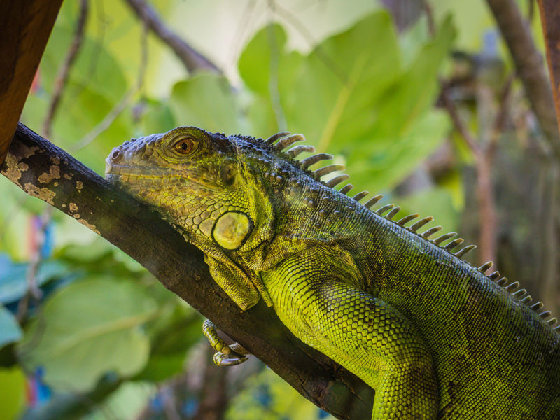 An iguana sitting very still on a branch Animal Markings Close-up Green Iguana Nature Reptile Wellington Zoo Wildlife