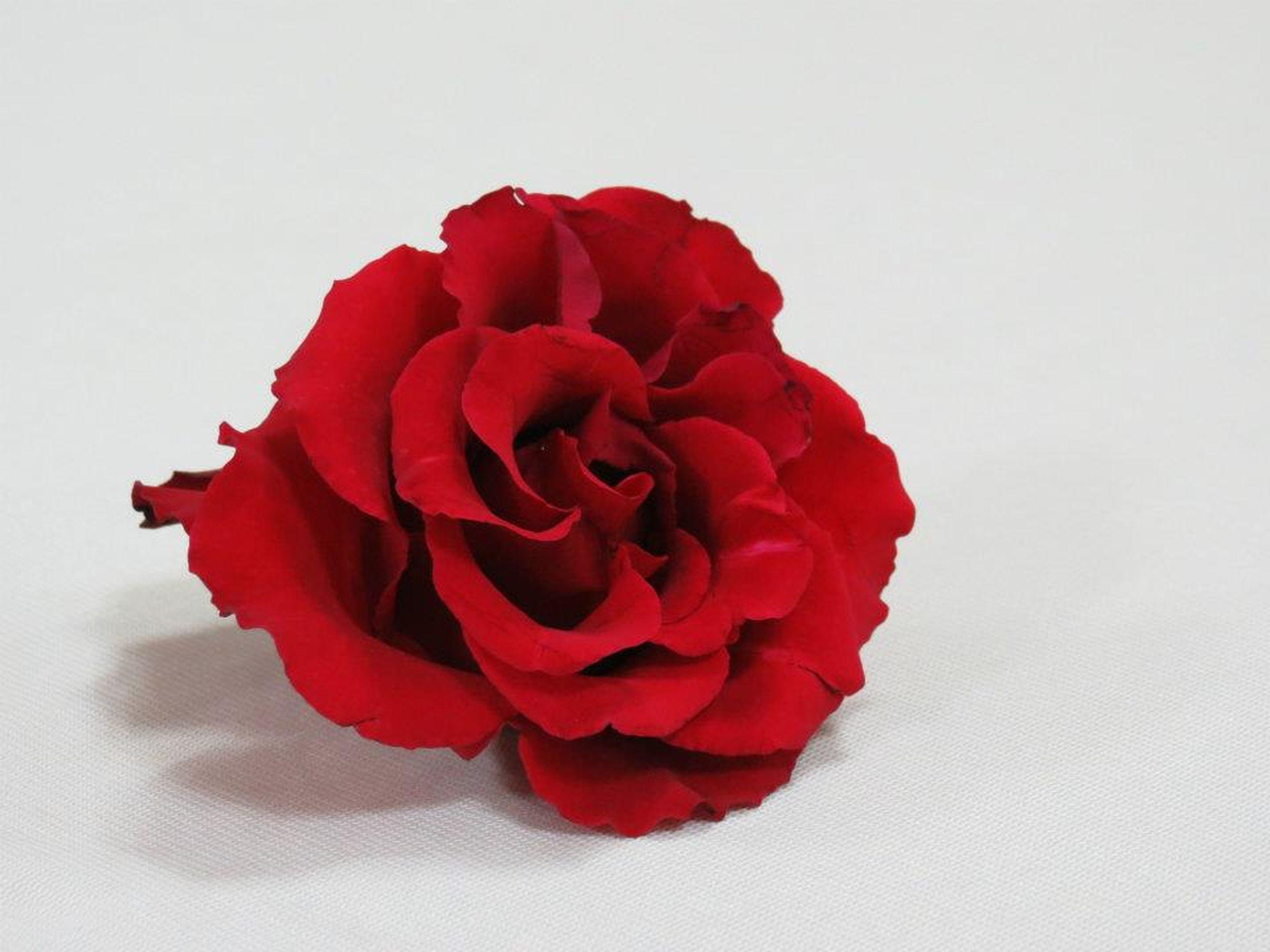 flower, studio shot, petal, white background, red, flower head, freshness, fragility, rose - flower, beauty in nature, close-up, indoors, rose, nature, single flower, copy space, no people, still life, growth, single object