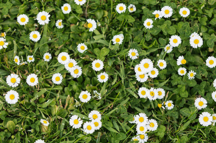 Daisys on a lawn... Background Backgrounds Beauty In Nature Daisy Daisy Close Up Daisy Flower Daisy Flower Head Daisy 🌼 Daisyporn Daisys Day Field Flower Flower Head Flowers Fragility Freshness Grass Green Color Growth Lawn Nature Nature Photography Naturelovers Outdoors
