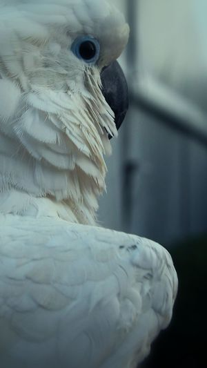Close-up of white cockatoo