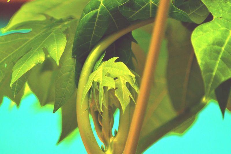 Pappaya Tree Leaf Fantasy Green Leaves My Click !♥ Vernation