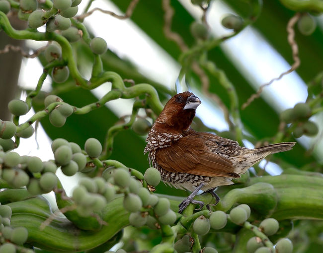 Looking for me Beauty In Nature Green Leaf Munia Outdoors Perching Plant Wild Wildlife Nritzz