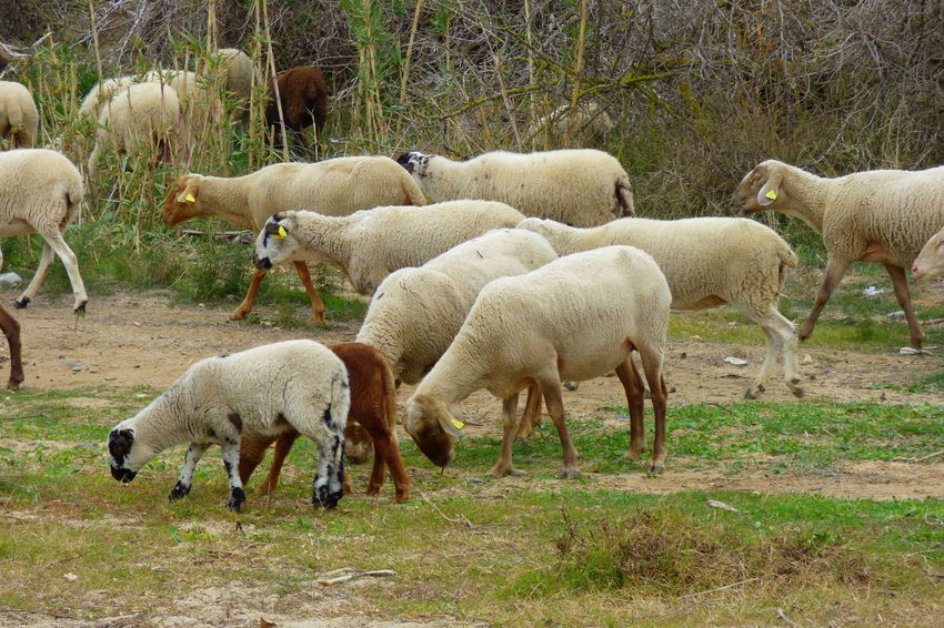 Animal Themes Beauty In Nature Day Domestic Animals Field Flock Of Sheep Flock Of Sheeps Grass Grazing Growth Lamb Large Group Of Animals Livestock Mammal Nature No People Outdoors Pasture Sheep Togetherness Tree Young Animal