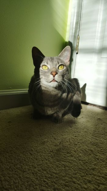 Domestic Cat Indoors  Looking At Camera Domestic Animals Full Length Feline Pet Eyes Curious Cat Curiosity DomesticShortHairCat Indoors  Green Color Shadow