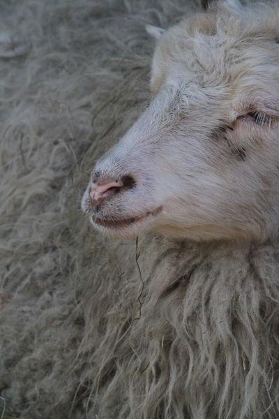 Close-up Fur Long Hair Mammal Nose One Animal Sheep Sheep Head
