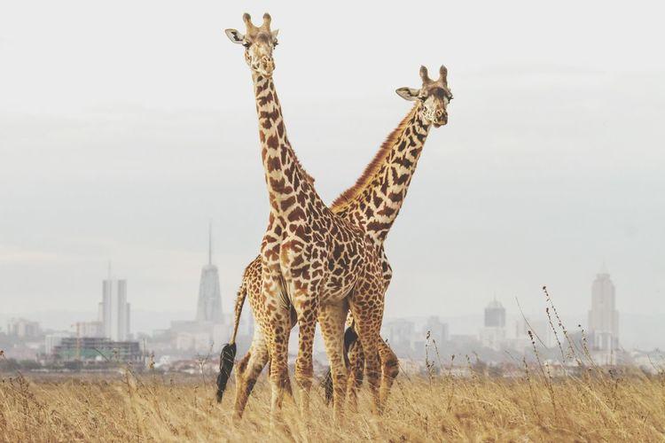 Urban Giraffe EyeEm Selects Giraffe Animal Wildlife Animal Animals In The Wild Safari Animals Mammal Travel Destinations Day Pattern Outdoors Animal Themes City Sky Mobility In Mega Cities