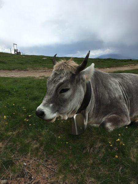 animal mountain cow Kuh Natur Im Bergen Tiere