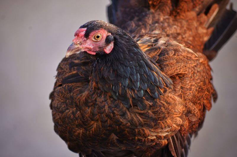 Close-up of a hen