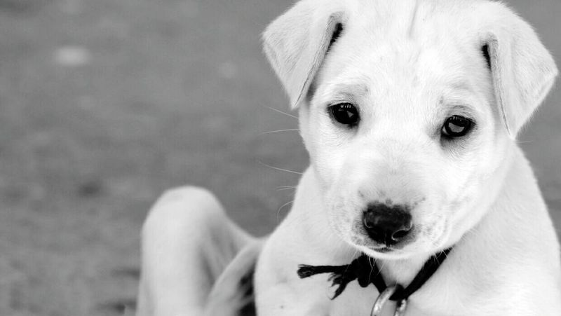 EyeEmNewHere dog Dogs Dogs Of EyeEm Dog Love Dog❤ DogLove Dogoftheday Bnwphotography Bnw Portrait Animal Themes One Animal Pets Looking At Camera Mammal Domestic Animals Saddog Saddoggie Bnw_friday_eyeemchallenge