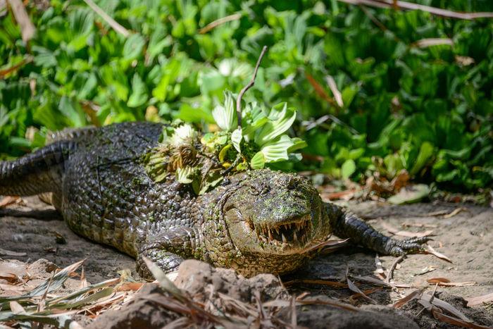 Katchikally Crocodile Pool Bakau Gambia Gambia, Africa Katchikally West Africa Wildlife & Nature Wildlife Photography Africa Bakau Crocodile Gambia  Pool Wildlife