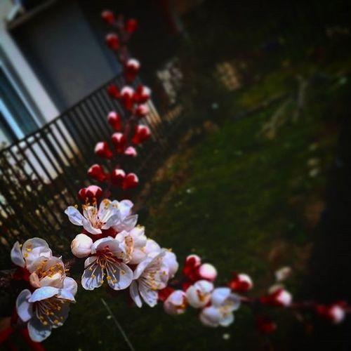 Spring Flower Flowers Nature LoveNature Loveflowers Peach Peachflower Peachflowers Red Pink White Garden Gardenflowers
