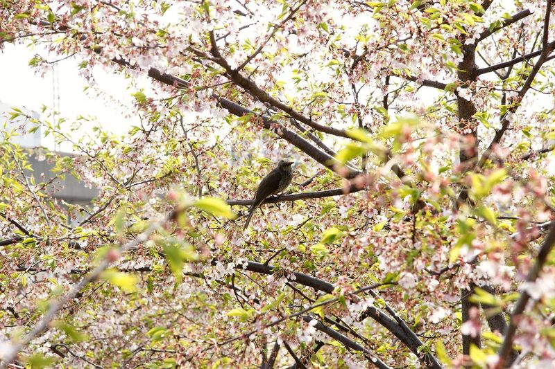cherry blossom & bird Cherryblossom Plant Growth Tree Beauty In Nature Branch No People Nature Day Flower Blossom Flowering Plant