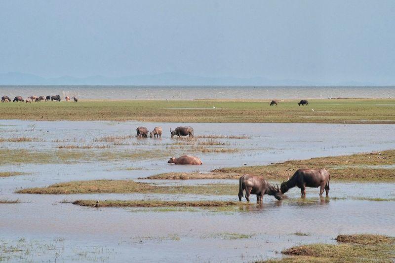 Water Buffalo Grazing In Thailand