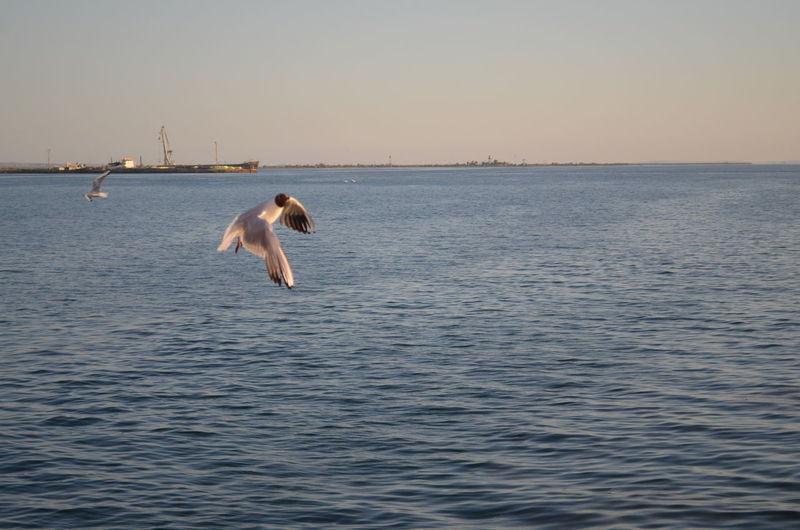 Gull Gulls