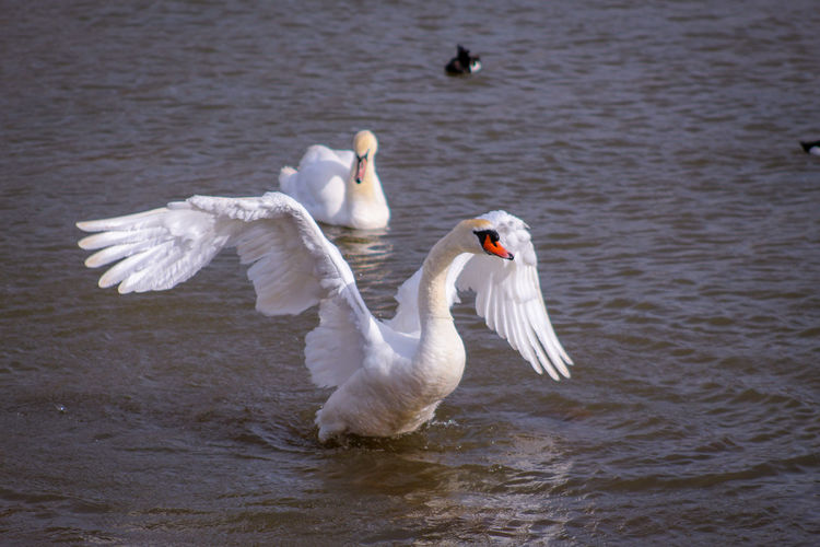 good morning EyeEm friends happy Snappy Thursday 👍👍👍👍🧙‍♂️🧙‍♂️🧙‍♂️🌂 EyeEm Best Shots EyeEm Nature Lover EyeEmBestPics EyeEm Best Shots - Nature Beauty In Nature Wonders Of Nature Swan Bird Spread Wings Water Lake Mute Swan Freshwater Bird White Swan Animal Wing Preening Flapping Beak