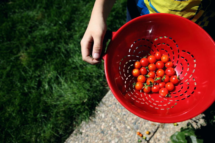 Backyard Bowl Color Food Food And Drink Freshness Fruit Garden Gardening Green Harvesting Healthy Eating Holding Nature Orange Organic Person Red Ripe September Summer Tomato Utah Vegetables Vibrant Color