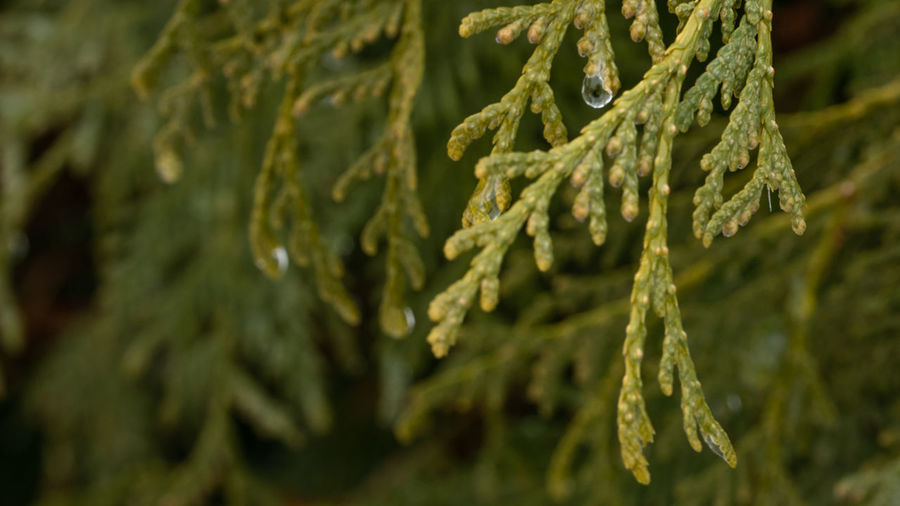 The Partner Collection Partner Collection Global Warming Close-up Freezing Rain Frozen Water Fragility Frailty Thaw Fir Tree Coniferous Tree Green Color Close-up Freshness Pine Tree Leaf Tranquility Spruce Tree Evergreen Tree
