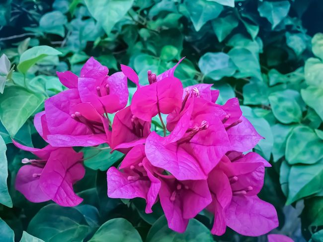 Growth Flower Petal Beauty In Nature Nature Fragility Plant Pink Color Flower Head Blooming Leaf Freshness Green Color Outdoors No People Day Close-up Periwinkle IPhoneography
