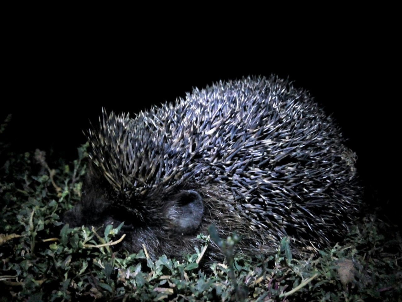 night, one animal, hedgehog, animal themes, animals in the wild, animal wildlife, mammal, no people, nature, outdoors, close-up, grass
