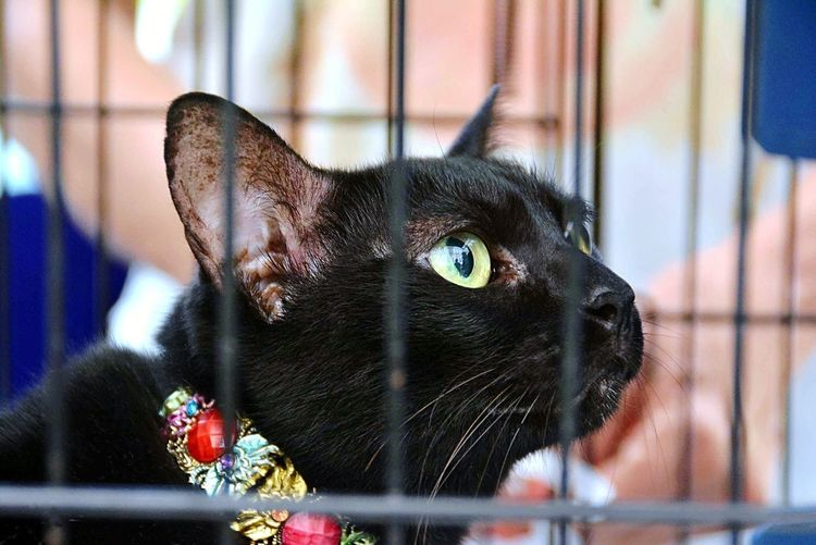 """Hooman, bring me Tuna!"" BLackCat Samsung Galaxy S9 Plus Pets Domestic Cat Feline Cage Looking At Camera Close-up Yellow Eyes Whisker Cat Stray Animal Animal Face EyeEmNewHere"