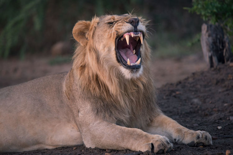 A Big Yawn Africa Lion Safari South Africa Wildlife Wildlife Photography
