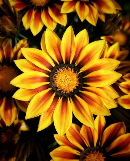 Flower Head Flower Yellow Petal Pollen Black-eyed Susan Close-up Blooming Plant Gazania In Bloom Plant Life Botany Blossom