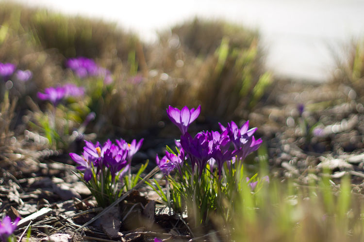 Petal Blurred Background Sunshine Sunlight Shadows & Lights Flower Head Flower Water Pink Color Purple Closing Field Close-up Landscape Plant Crocus Botany Botanical Garden Plant Life In Bloom Flowering Plant Blossom Blooming