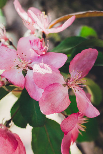 Beauty In Nature Blooming Close-up Crab Apple Tree Day Flower Flower Head Focus On Foreground Fragility Freshness Growth Nature No People Outdoors Petal Pink Color Plant Tree