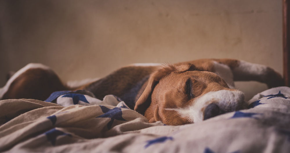 Light And Shadow Beagle Dog Colorpallet Colorpallete Pet Pose Sleeping Domesticanimals Canine Friendship Portrait Resting 35mm Modeldog  Innocence Nap Rest Friendforever Indoors  Animal Themes Light And Shadow Contrast Mammal Model Tranquility AnimalTheme Close-up Napping Pet Bed