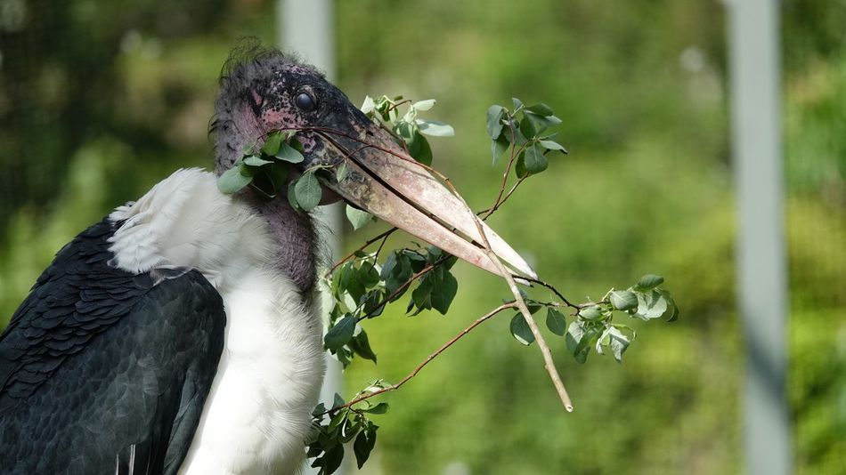 Aves Stork Ciconiidae Fauna Making Nest Wading Bird Animal Head  Leptoptilos Crumenifer Bird Beak Marabou Stork EyeEm Selects Plant Focus On Foreground Close-up Growth Day Nature No People Animals In The Wild Beauty In Nature