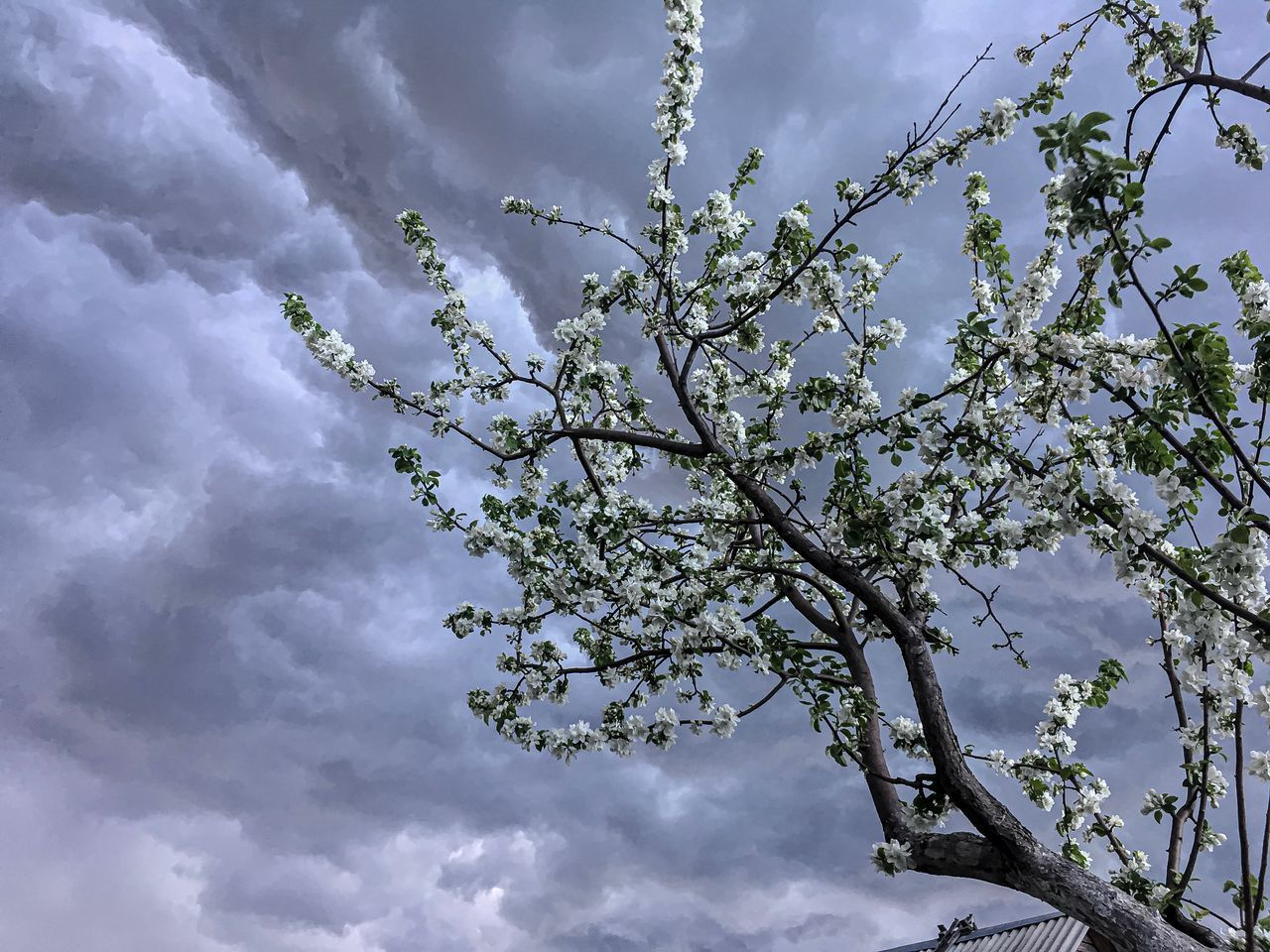 cloud - sky, sky, tree, plant, beauty in nature, low angle view, branch, growth, nature, no people, day, flower, flowering plant, white color, tranquility, blossom, outdoors, scenics - nature, freshness, cherry blossom, spring