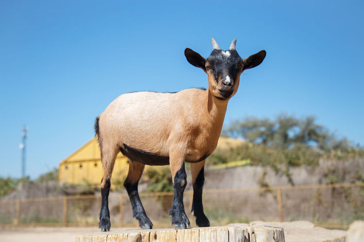 Portrait of goat on tree stump against clear sky